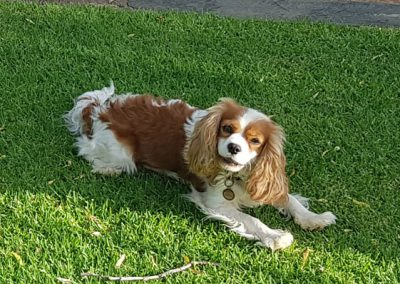 cavelier-king-charles-spaniel-south-africa