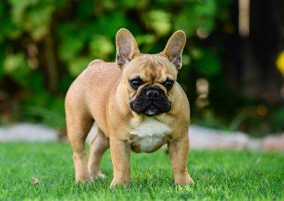 avantgarde-kennels-French-bulldogs