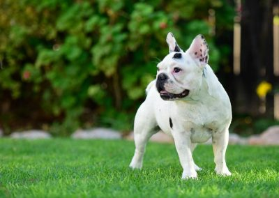 avantgarde-kennels-frenchies