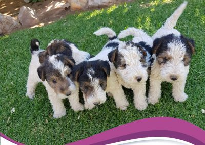 puppies-available-2