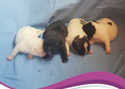 puppies-available3